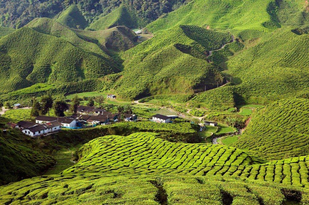 Plantation de thé sur Cameron Highlands en Malaisie