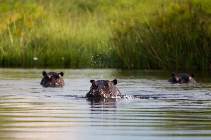 Hippopotames dans une rivière au Botswana