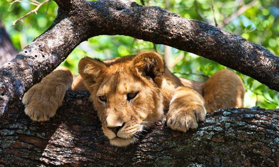 Tanzanie safari lion