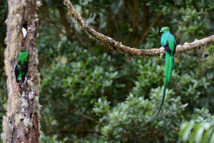 Le Quetzal d'Amérique centrale