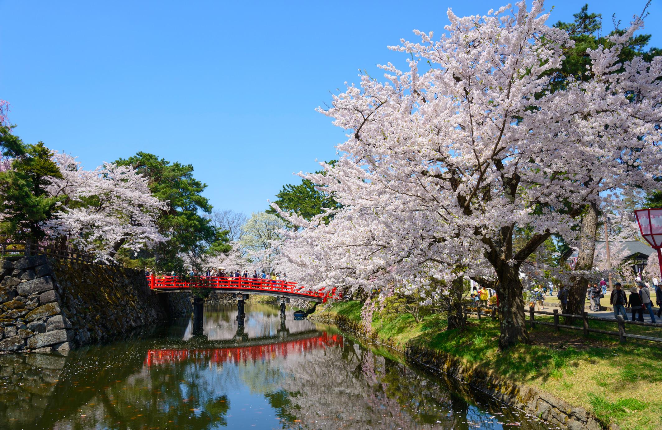 cerisiers au Japon