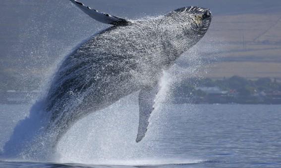 Une baleine en Afrique du Sud