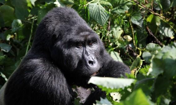 Gorille jungle