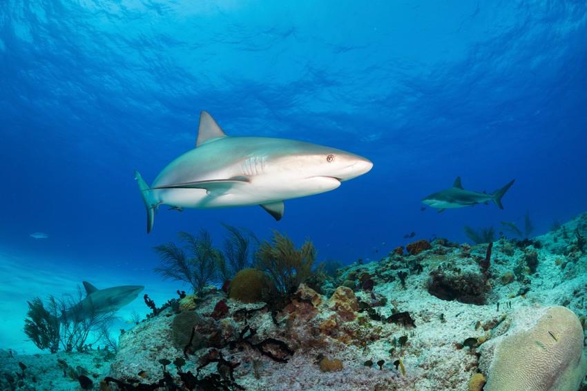 un requin aux Bahamas