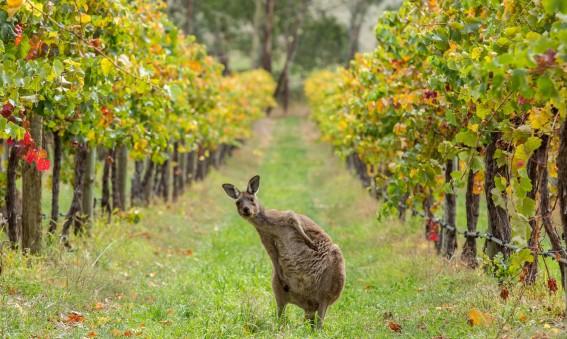 Un kangourou dans un vignoble du Sud de l'Australie