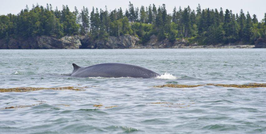 baleine du Nouveau Brunswick